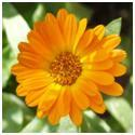 Calendula Officinalis Oil
